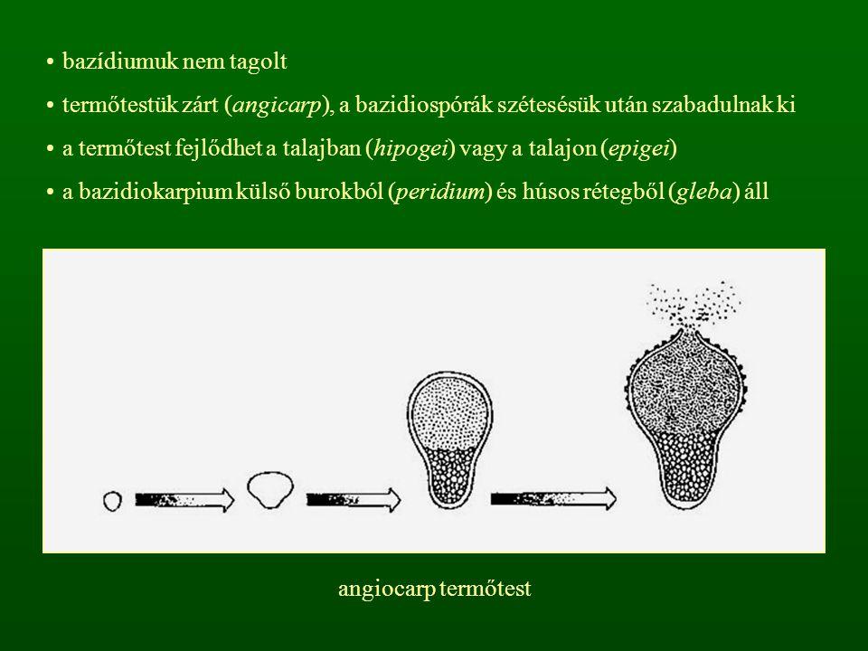 bazídiumuk nem tagolt termőtestük zárt (angicarp), a bazidiospórák szétesésük után szabadulnak ki a termőtest fejlődhet a talajban (hipogei) vagy a ta