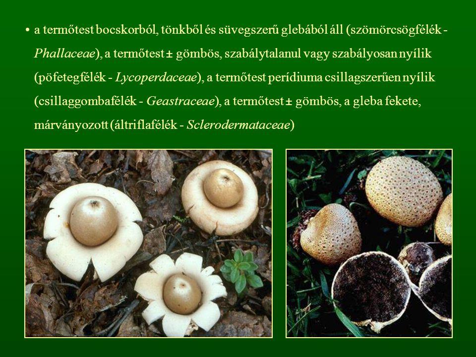 a termőtest bocskorból, tönkből és süvegszerű glebából áll (szömörcsögfélék - Phallaceae), a termőtest ± gömbös, szabálytalanul vagy szabályosan nyíli