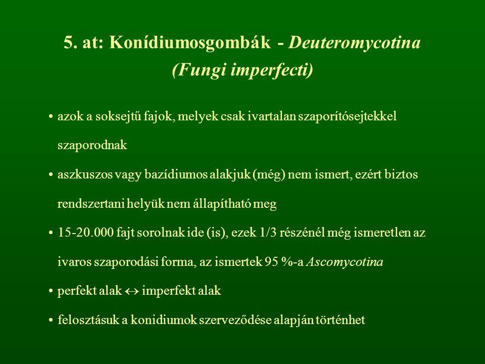 5. at: Konídiumosgombák - Deuteromycotina (Fungi imperfecti) azok a soksejtű fajok, melyek csak ivartalan szaporítósejtekkel szaporodnak aszkuszos vag