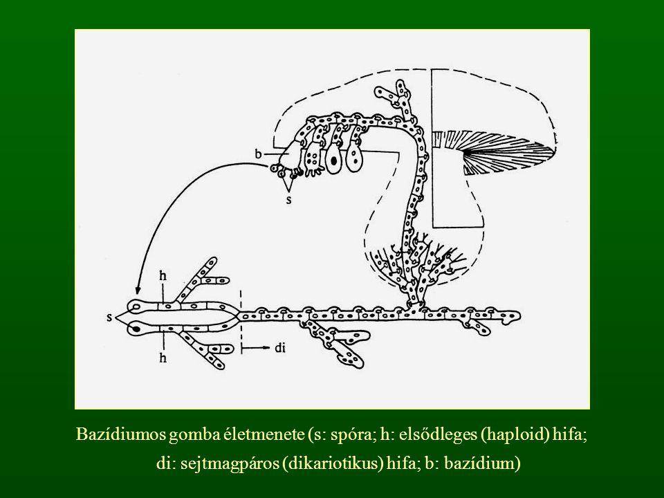 Zárt termőtestű bazídiumosgombák Pöfeteggombák: az egyrétegű, gömbölyded termőtest éretten kilyukad vagy felrepedezik Csillaggombák: a két vagy három rétegű termőtest külső rétegei csillagszerűen lerepednek, a belső lyukkal nyílik Szömörcsöggombák: a kucsmagombához hasonló, de a süvegrész nyálkás és rossz szagú NEM KALAPOS GOMBÁK (FOLYTATÁS)