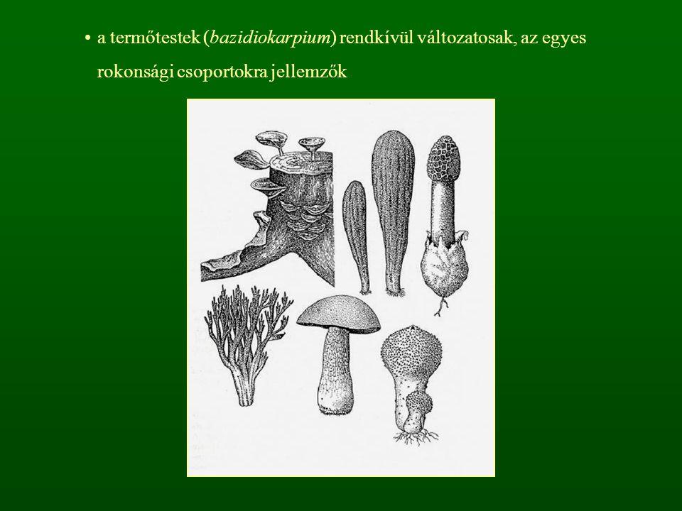 a spóra színe alapján felállítható csoportok: - fehér spórások (Leucosporae) - rózsaszín spórások (Rhodosporae) - sárgásbarna, rozsdaszínű spórások (Ochrosporae) - sötétbarna, fekete spórások (Melanosporae)