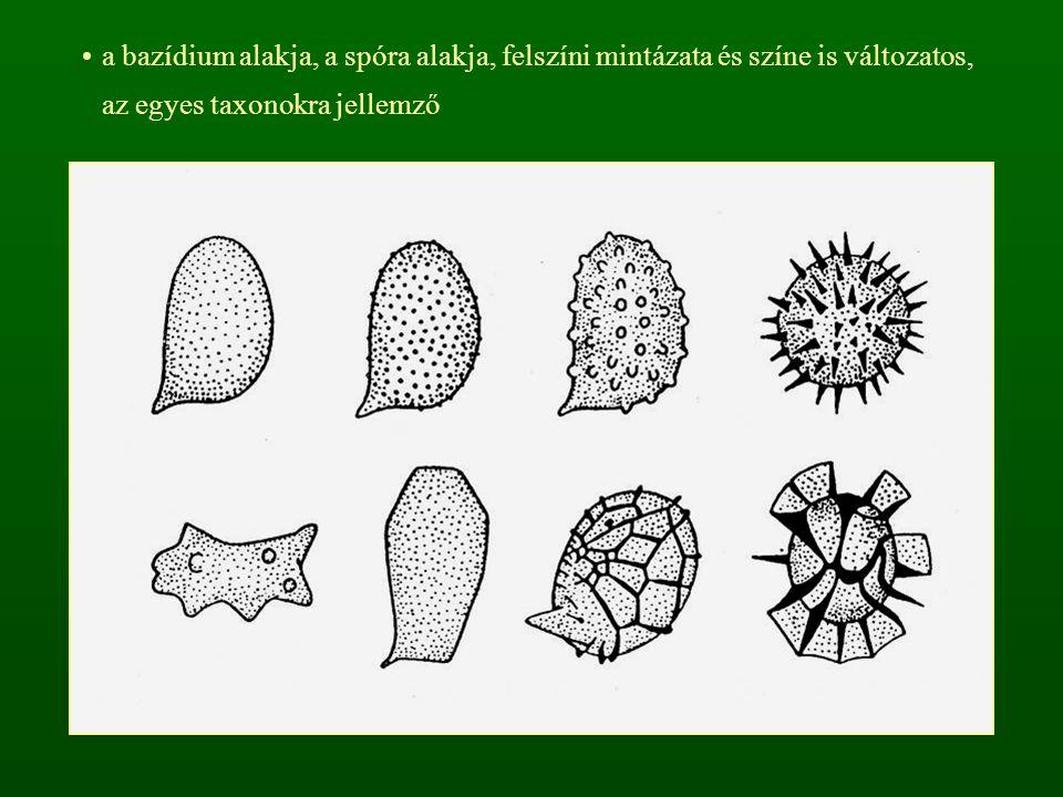 a bazídium alakja, a spóra alakja, felszíni mintázata és színe is változatos, az egyes taxonokra jellemző