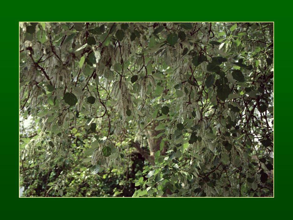 Fűz nemzetség – Salix A 2-5 Termős virágzata füzér Virágzási idő fajonként eltérő Tanult fajok: -Fatermetű füzek: fehér fűz – S.