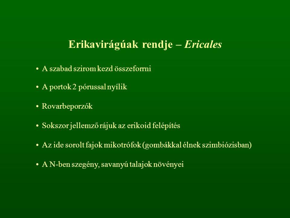 Erikavirágúak rendje – Ericales A szabad szirom kezd összeforrni A portok 2 pórussal nyílik Rovarbeporzók Sokszor jellemző rájuk az erikoid felépítés