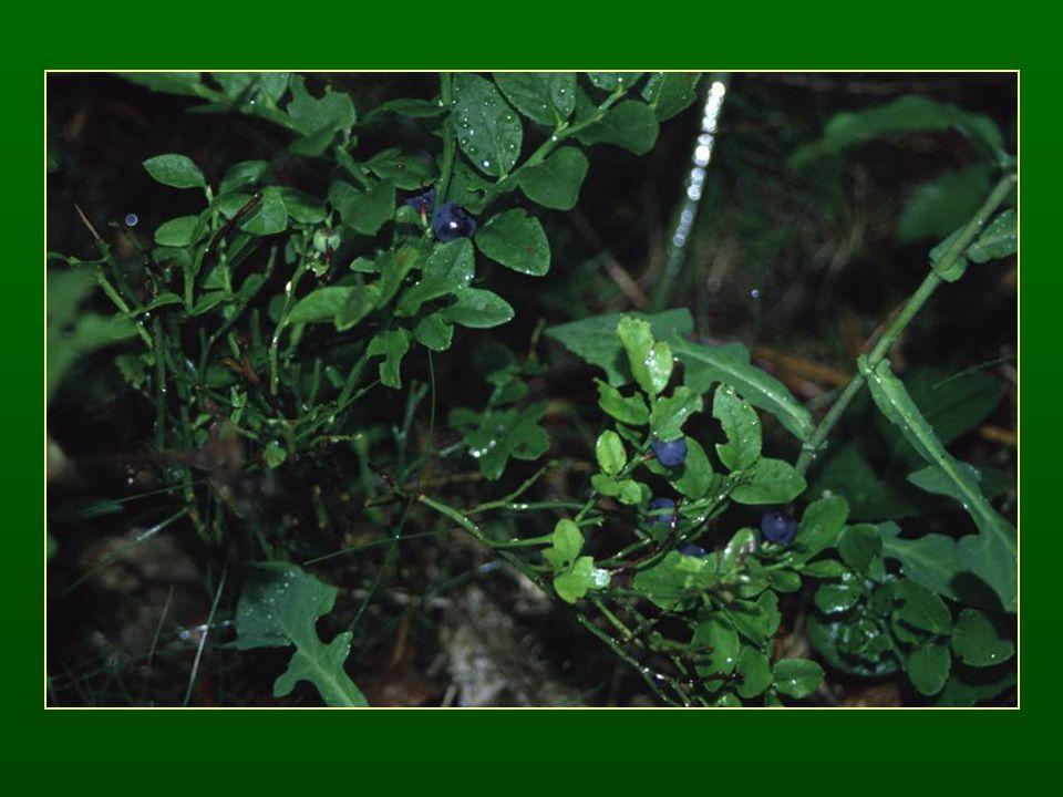 Mályvavirágúak rendje – Malvales Hársfélék családja – Tiliaceae Fatermetű fajok Porzóik 5 falkások G (5) Termésük tok (makkocska), 1 maggal