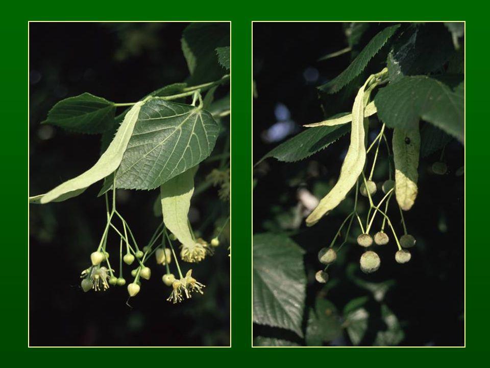 Boroszlánvirágúak rendje – Thymelaeales Négytagú virágok Redukált párta, csőszerű csésze Rovarbeporzó fajok Boroszlánfélék családja – Thymelaeaceae Szórt állású, épszélű levelek Fejlett, színes csésze Egy magkezdeményű termő, húsos burkú csontár termés K 4 C 0 A 4+4 G 1 Boroszlán nemzetség – Daphne Cserjék Tanult fajok: farkasboroszlán – Daphne mezereum, babérboroszlán – D.