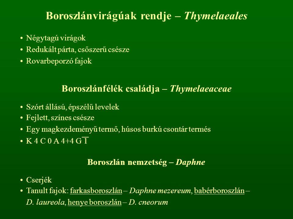 Boroszlánvirágúak rendje – Thymelaeales Négytagú virágok Redukált párta, csőszerű csésze Rovarbeporzó fajok Boroszlánfélék családja – Thymelaeaceae Sz