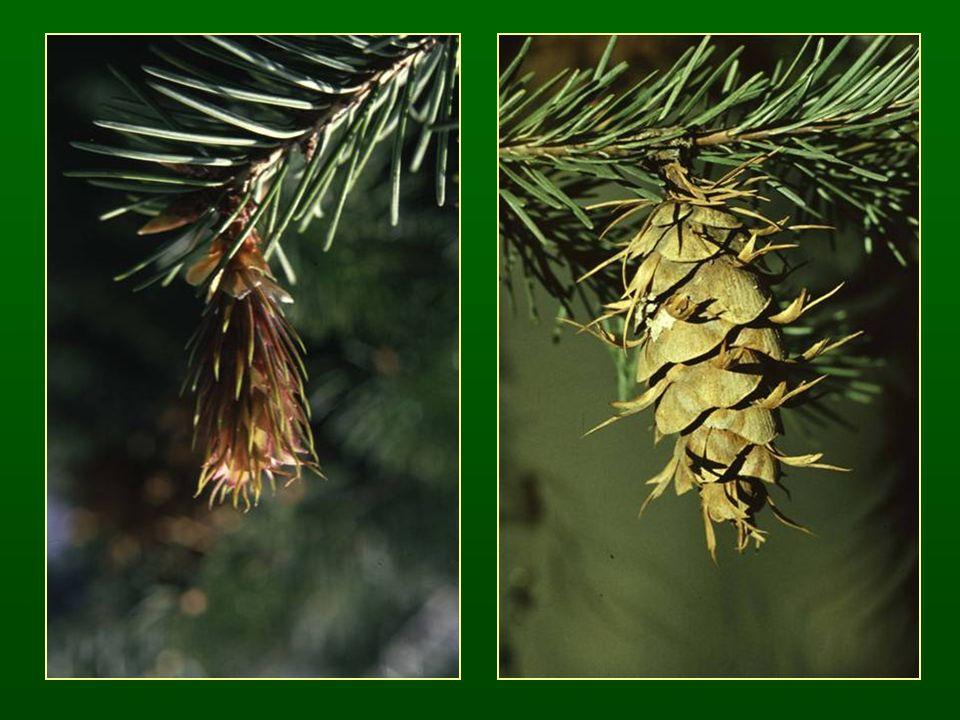 Vörösfenyő nemzetség – Larix Tűcsomós fenyő (hosszú- és rövidhajtás) Lombhullató fajok Egy év alatt beérő, sokáig a fán maradó tobozok Részben fejlett fedőpikkelyek Tanult faj: Közönséges vörösfenyő – Larix decidua (L.