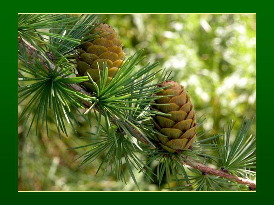 Hosszútűs fenyők nemzetsége – Pinus Tűcsomós fenyő (hosszú- és törpehajtás) Törpehajtások: 2-5-ös örvű tűlevelek.
