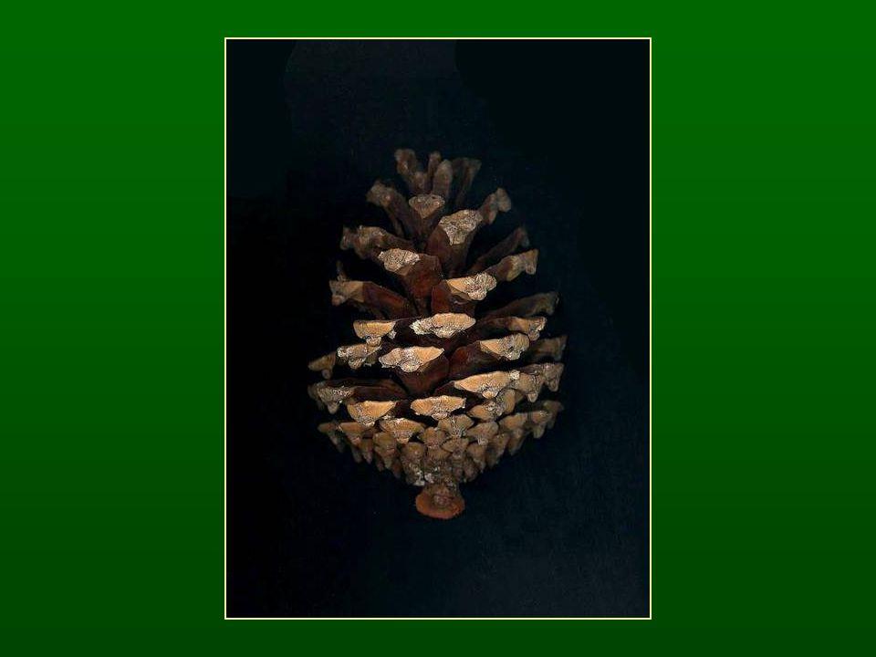 Ciprusfélék családja – Cupressaceae Pikkelyleveles (ritkán tűleveles) fajok A levelek átellenesek (ritkán örvösek), fennmaradva elfásodnak Hajtáscsúcsi virágzatok A fedő- és termőpikkelyek nem különülnek el, tobozuk megfásodik 2 sziklevél