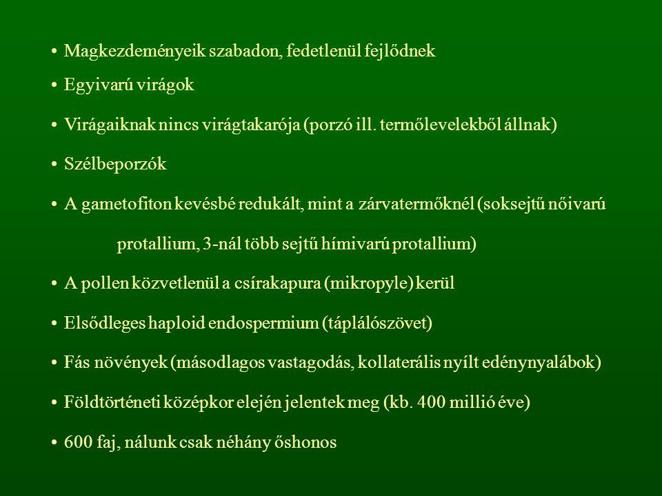 """Toboztermők osztálya – Coniferopsida Örökzöld fák, tű- vagy pikkelylevelekkel Különnemű """"virágzatok A magkezdemények megfásodó fellevelek (fedőpikkely, meddő pikkely) tövében helyezkednek el toboz A termőlevelek termőpikkelyekké forrnak össze Fenyő alkatúak (tűlevelűek) rendje – Coniferales Termőpikkelyenként 2 vagy több magkezdemény Változatos morfológiai felépítés (tű- vagy pikkelylevelek, hajtásdifferenciálódás) 450 faj, főleg az északi mérsékelt övben"""