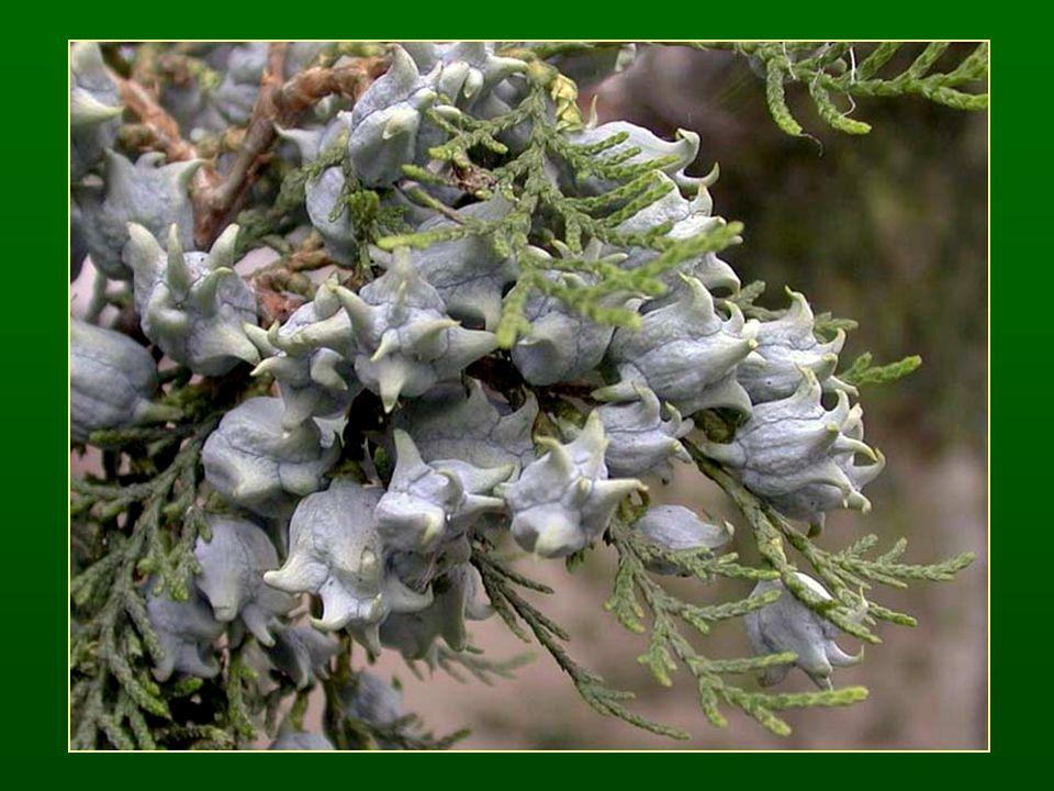 Boróka nemzetség – Juniperus Tűvelevek (3-as örvben) vagy pikkelylevelek (átellenesek) Elhúsosodó tobozpikkelyek, fel nem nyíló tobozbogyó termés Endozoochoria Tanult faj: Közönséges boróka – Juniperus communis