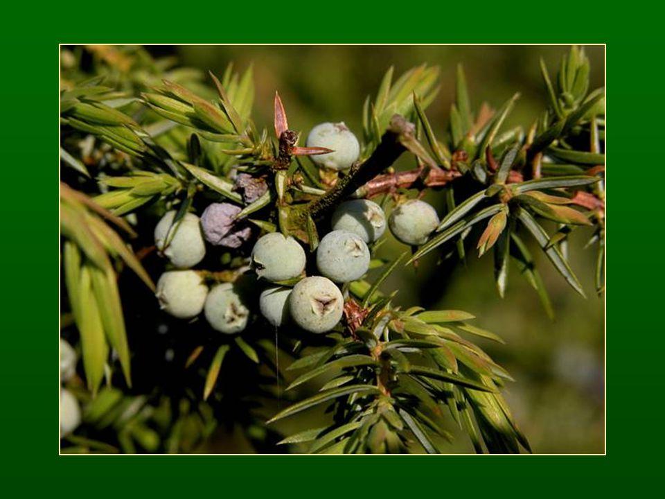 Tiszafák osztálya – Taxopsida Tiszafaalkatúak rendje – Taxales A nőivarú virágzatban csak a legfelső pikkely-pár termékeny A virágokban egy magkezdemény van, alján fellevélszerű gyűrű, ebből magköpeny (arillusz) alakul ki Elfásodó integumentum (csonthéjas termés) Tracheidákban spirális vastagodás, gyantajáratok hiányoznak 2 család, kevés faj