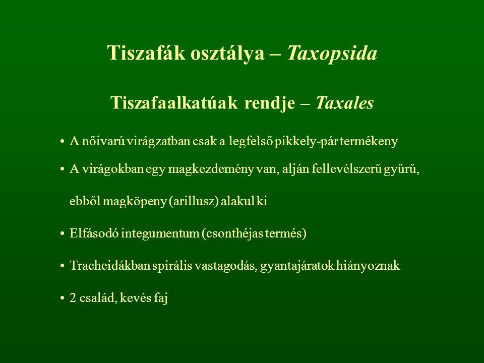 Tiszafák osztálya – Taxopsida Tiszafaalkatúak rendje – Taxales A nőivarú virágzatban csak a legfelső pikkely-pár termékeny A virágokban egy magkezdemé