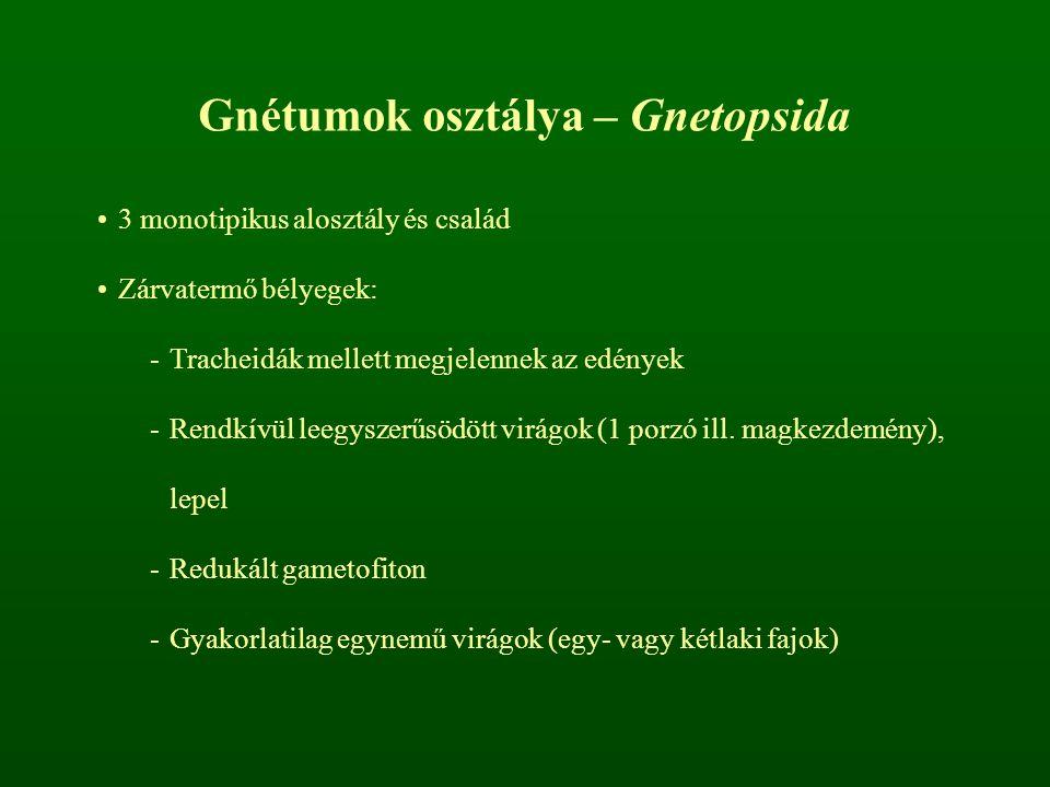 Gnétumok osztálya – Gnetopsida 3 monotipikus alosztály és család Zárvatermő bélyegek: -Tracheidák mellett megjelennek az edények -Rendkívül leegyszerű