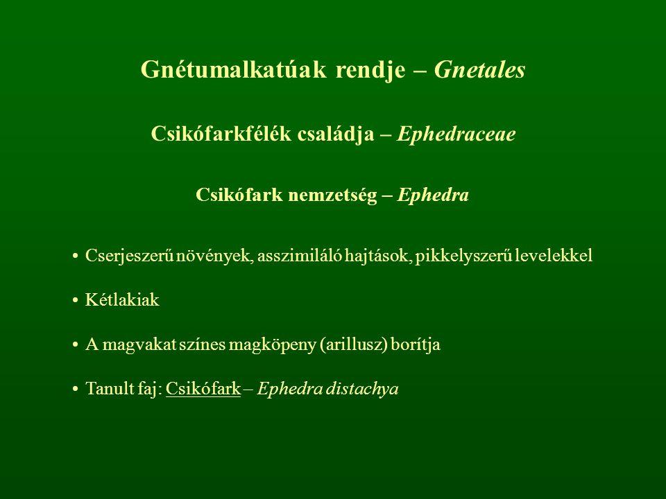 Gnétumalkatúak rendje – Gnetales Csikófarkfélék családja – Ephedraceae Csikófark nemzetség – Ephedra Cserjeszerű növények, asszimiláló hajtások, pikke