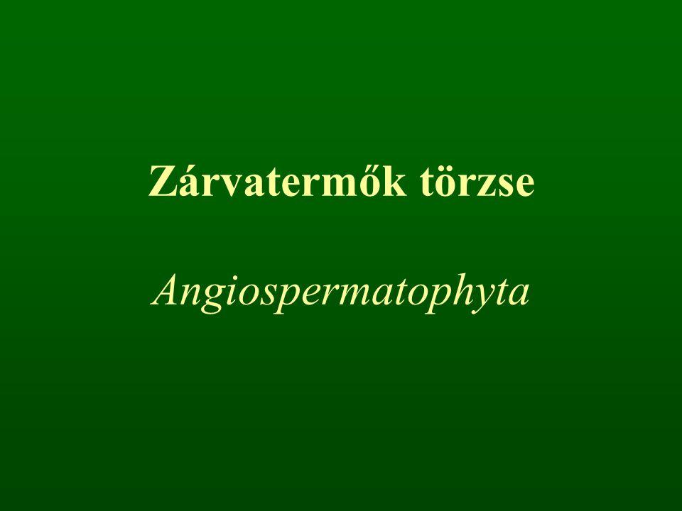 Kettős megtermékenyítés Triploid endospermium Magkezdemény magházba zártan fejlődik Magházból termés képződik Valódi edények (tracheák)