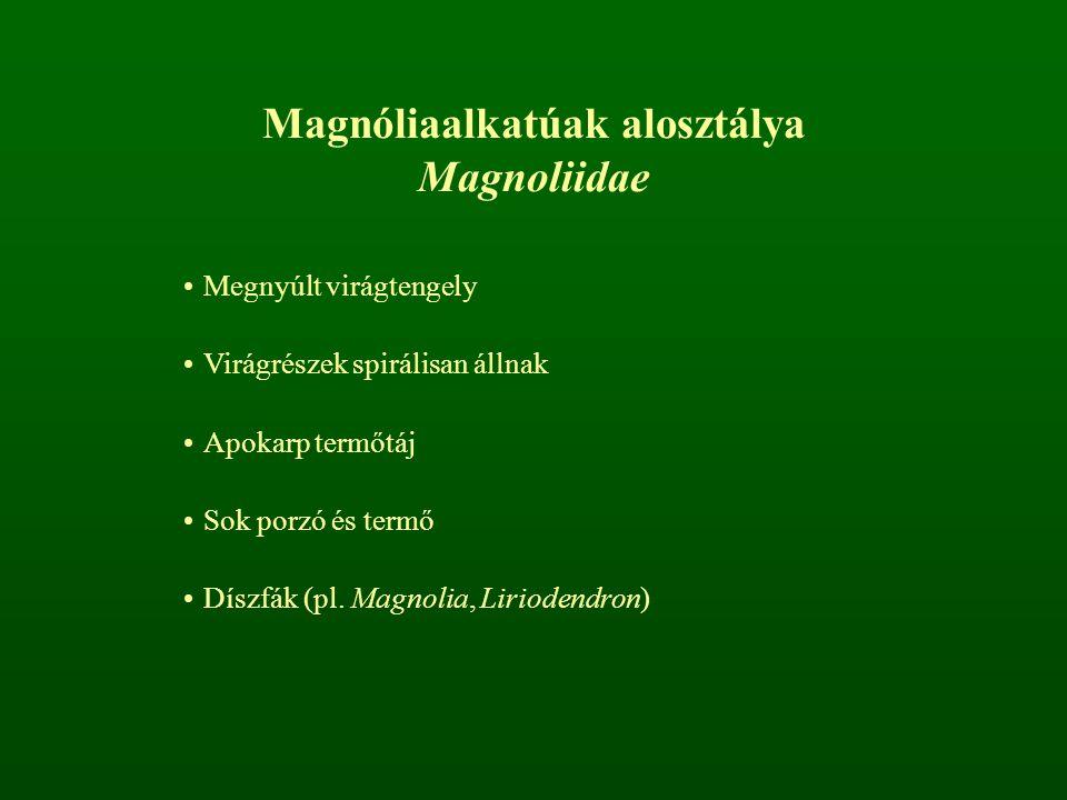 Magnóliaalkatúak alosztálya Magnoliidae Megnyúlt virágtengely Virágrészek spirálisan állnak Apokarp termőtáj Sok porzó és termő Díszfák (pl. Magnolia,