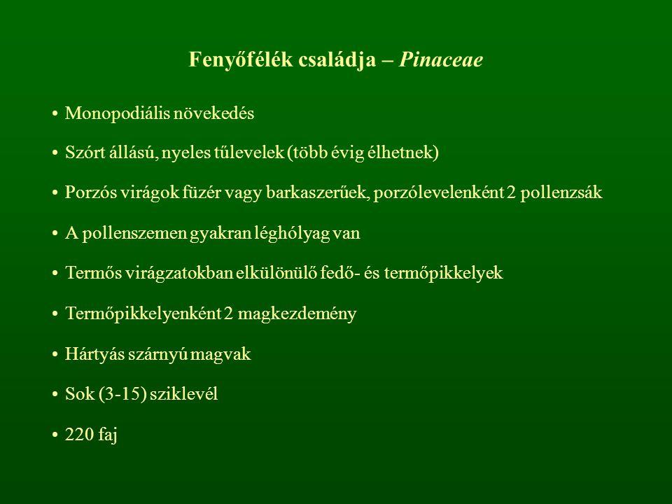 Fenyőfélék családja – Pinaceae Monopodiális növekedés Szórt állású, nyeles tűlevelek (több évig élhetnek) Porzós virágok füzér vagy barkaszerűek, porz