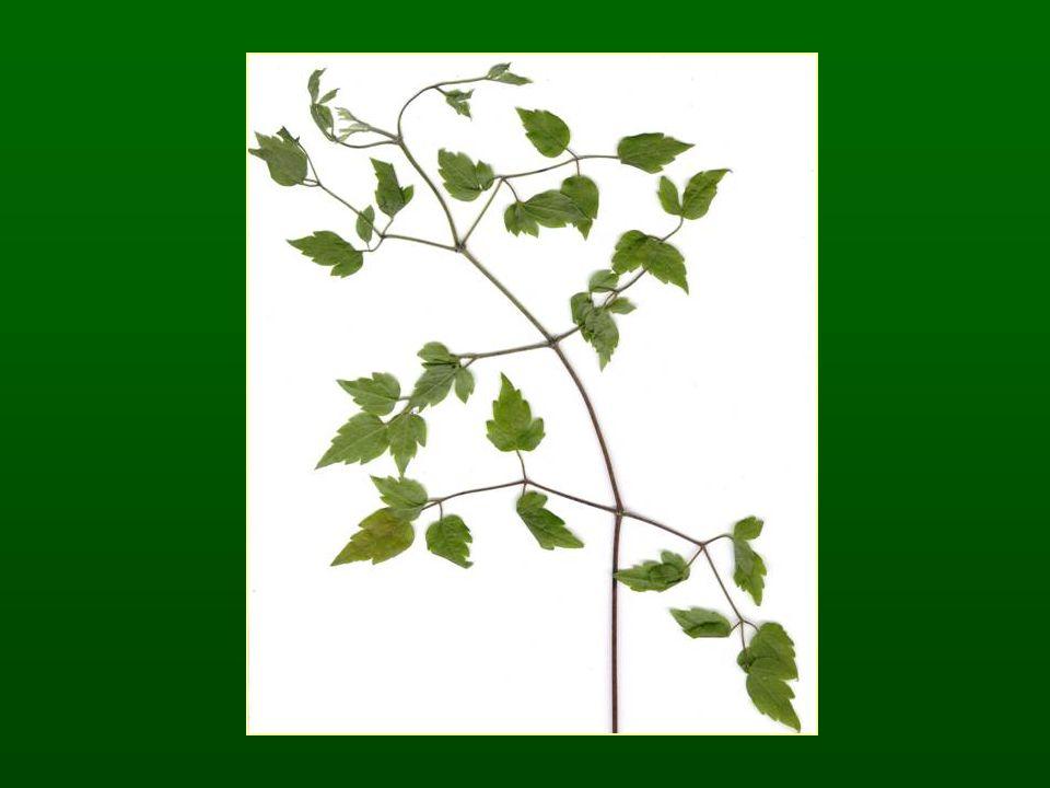 Borbolyafélék családja – Berberidaceae K 3+3 C 3+3 A 3+3 G1 Sziromszerű csésze A virágban mézfejtők vannak Fürt virágzat Bogyó termés Borbolya nemzetség – Berberis Egyszerű levelek Levéltövisek Tanult faj: sóskaborbolya – Berberis vulgaris