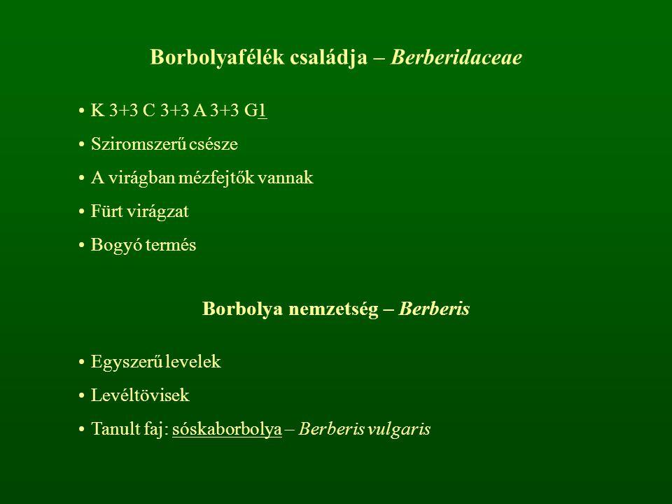 Borbolyafélék családja – Berberidaceae K 3+3 C 3+3 A 3+3 G1 Sziromszerű csésze A virágban mézfejtők vannak Fürt virágzat Bogyó termés Borbolya nemzets