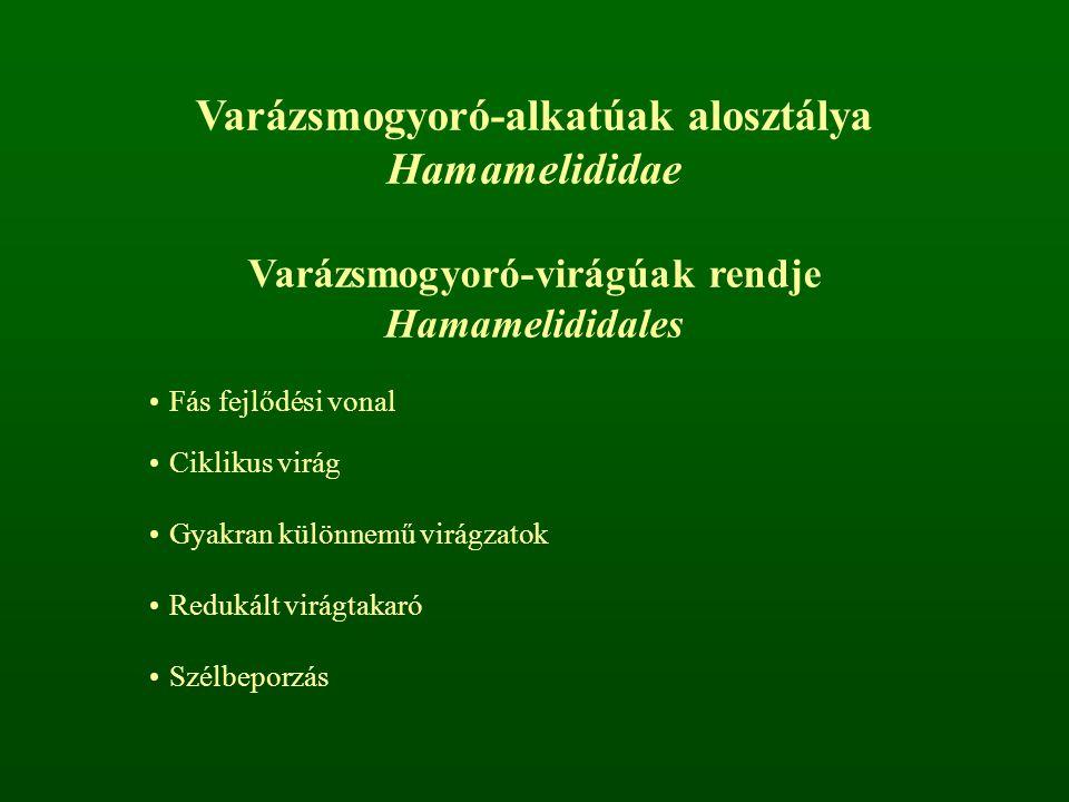 Varázsmogyoró-alkatúak alosztálya Hamamelididae Varázsmogyoró-virágúak rendje Hamamelididales Fás fejlődési vonal Ciklikus virág Gyakran különnemű vir