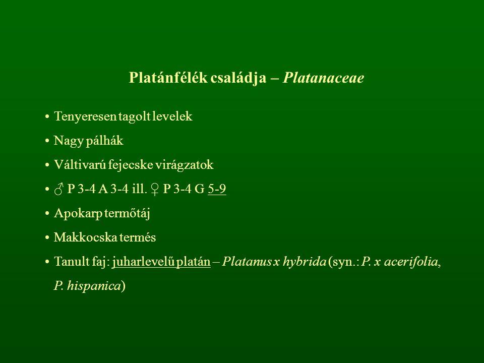 Platánfélék családja – Platanaceae Tenyeresen tagolt levelek Nagy pálhák Váltivarú fejecske virágzatok ♂ P 3-4 A 3-4 ill. ♀ P 3-4 G 5-9 Apokarp termőt