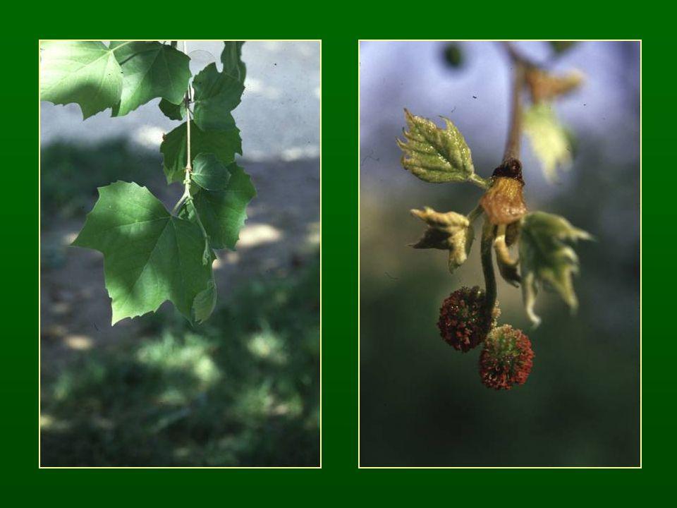 Csalánvirágúak rendje – Urticales Fás fejlődési vonal, kevés lágyszárú Apró, szélporozta virágok Virágtakaró redukált: zöldes lepel Szilfélék családja – Ulmaceae Fák Váltakozó levélállás Virágok levélhónalji csomószerű virágzatokban P (4-6) A 4-6 G (2)