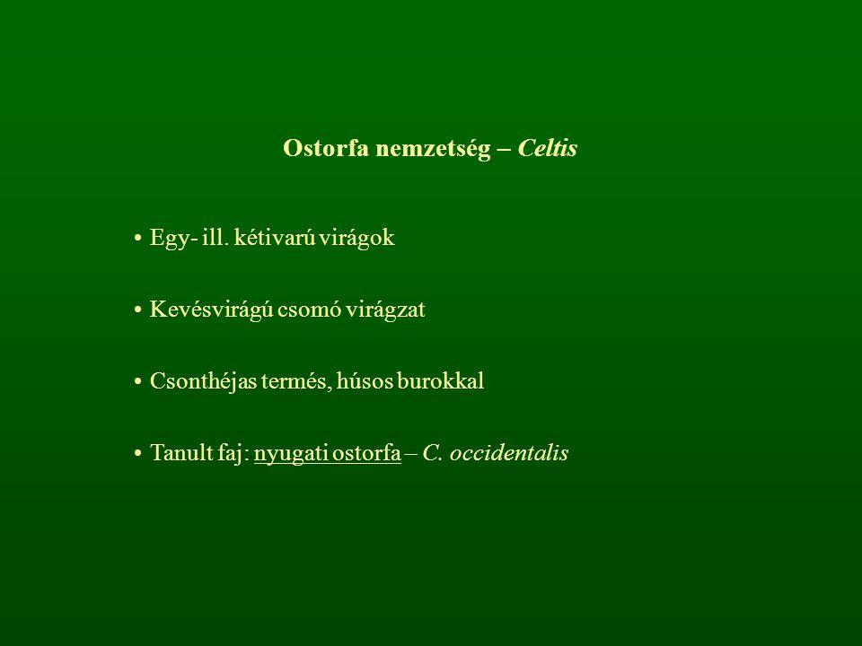 Ostorfa nemzetség – Celtis Egy- ill. kétivarú virágok Kevésvirágú csomó virágzat Csonthéjas termés, húsos burokkal Tanult faj: nyugati ostorfa – C. oc
