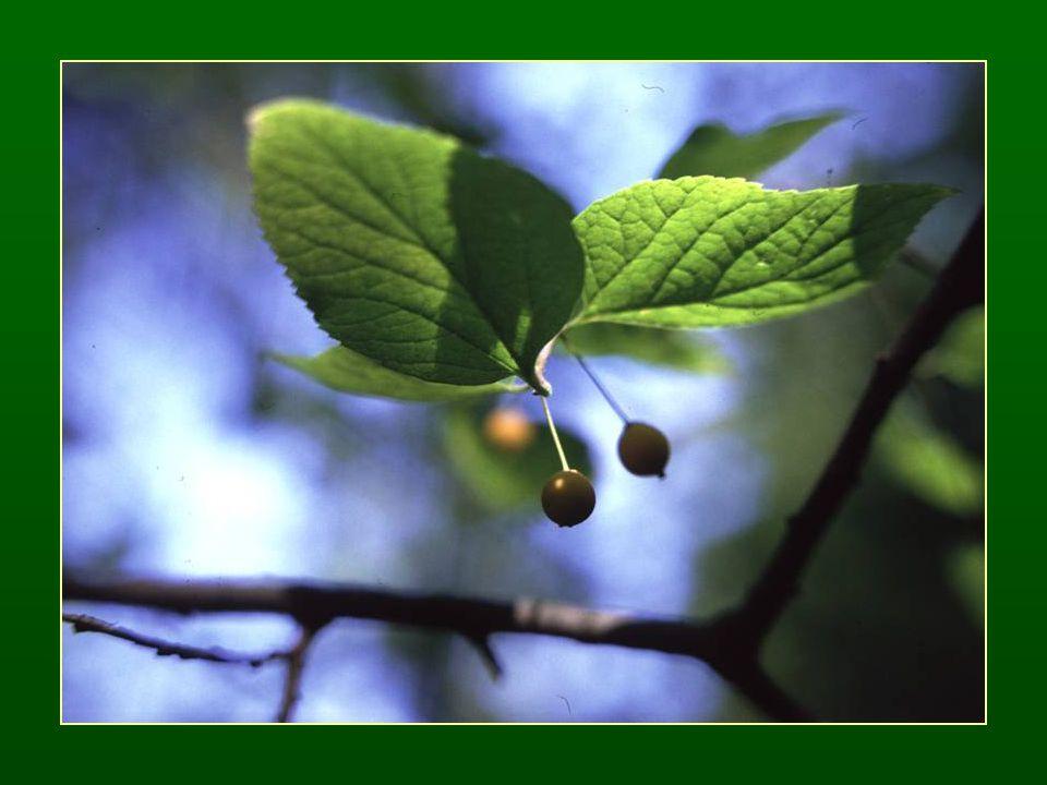 Eperfafélék családja – Moraceae Fák Szórt levélállás Szöveteikben tejedények vannak Egyivarú virágok – ♂ P 2+2 A 2+2 ♀ P 2+2 G (2) Termése: csonthéjas makkocska, a lepel + a virágzati tengely elhúsosodhat