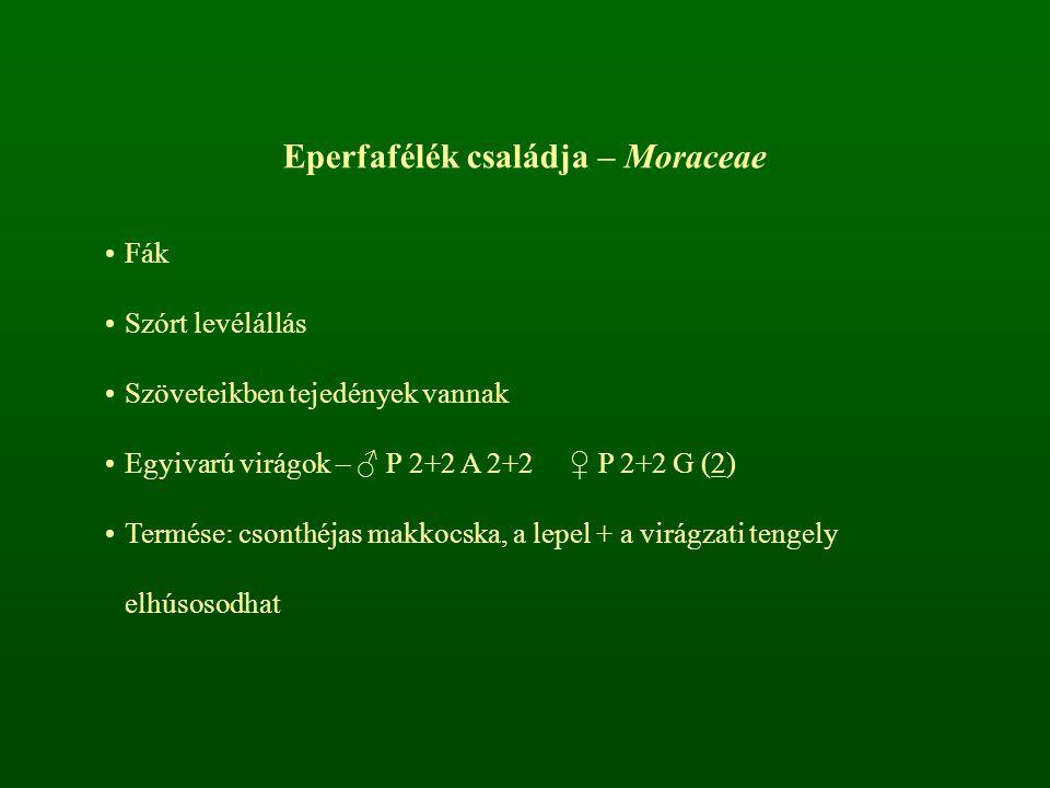 Eperfafélék családja – Moraceae Fák Szórt levélállás Szöveteikben tejedények vannak Egyivarú virágok – ♂ P 2+2 A 2+2 ♀ P 2+2 G (2) Termése: csonthéjas
