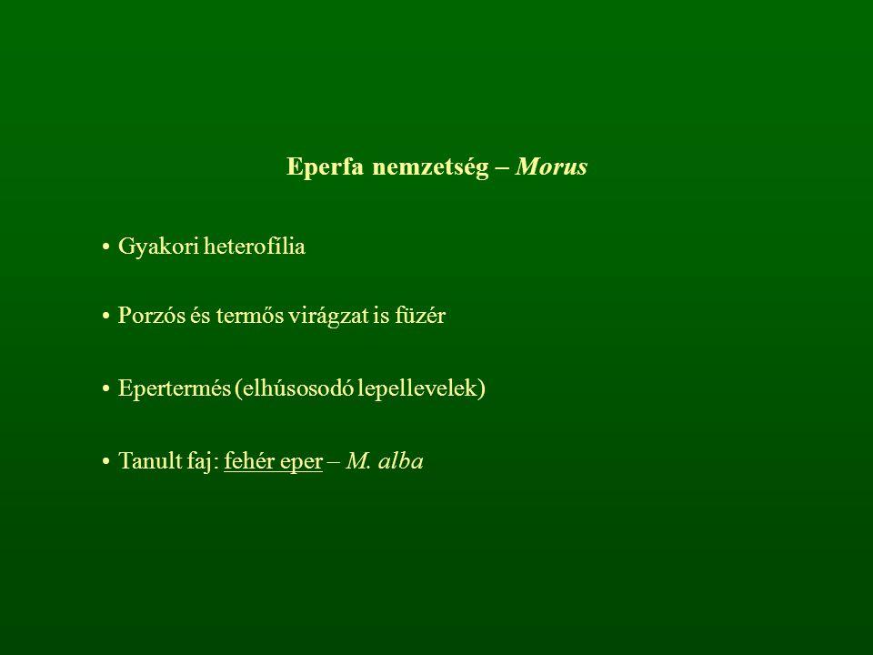 Eperfa nemzetség – Morus Gyakori heterofília Porzós és termős virágzat is füzér Epertermés (elhúsosodó lepellevelek) Tanult faj: fehér eper – M. alba