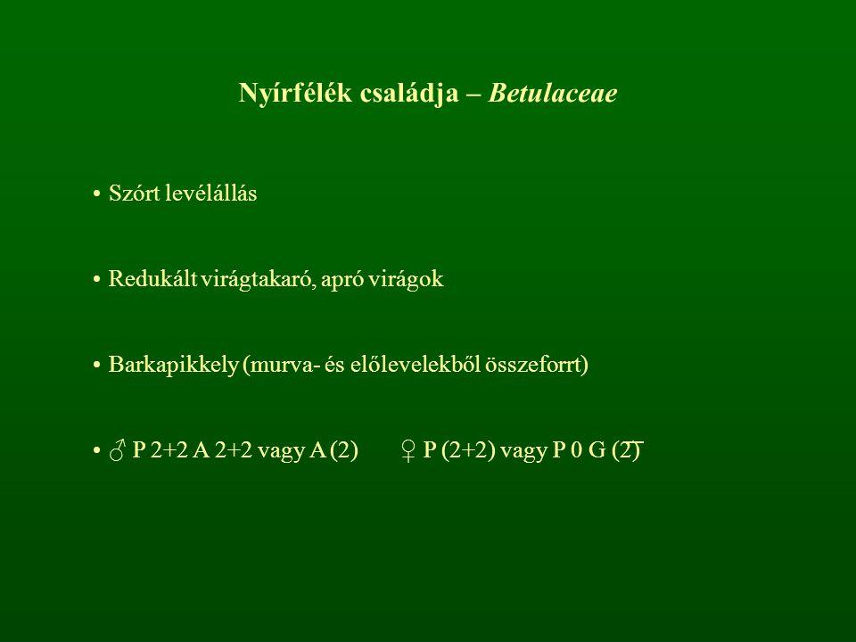 Nyírfélék családja – Betulaceae Szórt levélállás Redukált virágtakaró, apró virágok Barkapikkely (murva- és előlevelekből összeforrt) ♂ P 2+2 A 2+2 va