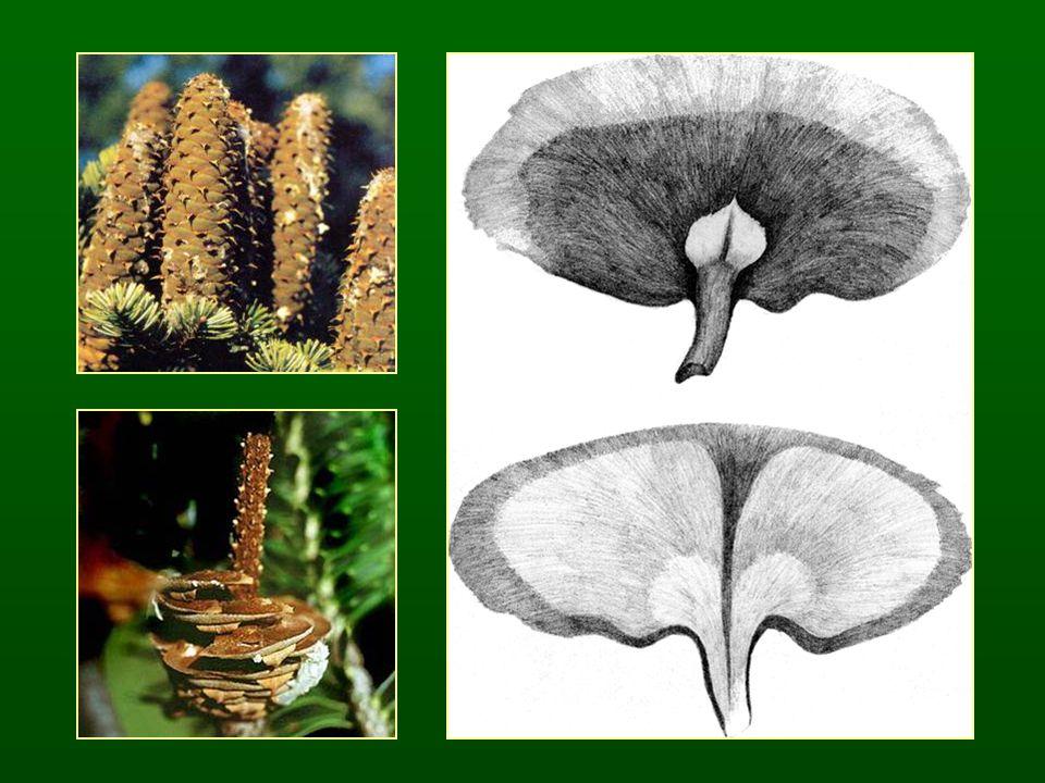 Lucfenyő nemzetség – Picea Csak hosszúhajtás Szárra futó levélalap, négyoldalú vagy lapos tűk Egy év alatt beérő, csüngő, egyben maradó tobozok Apró fedőpikkelyek Tanult faj: Közönséges lucfenyő – Picea abies (P.