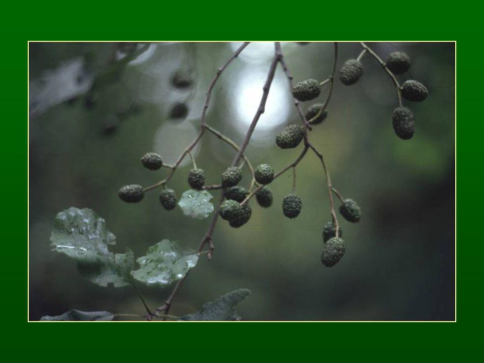 Mogyorófélék családja – Corylaceae Szórt vagy váltakozó levélállás, fűrészes levélszél A virágtakaró teljesen redukált – ♂A 4-12 ♀ G (2) ♂ barka virágzat, barkapikkelyenként 1 virág, hasadt porzószálak ♀ kevés virágú füzérszerű virágzatok Makk vagy makkocska termés, fellevelekből álló kupacslevél
