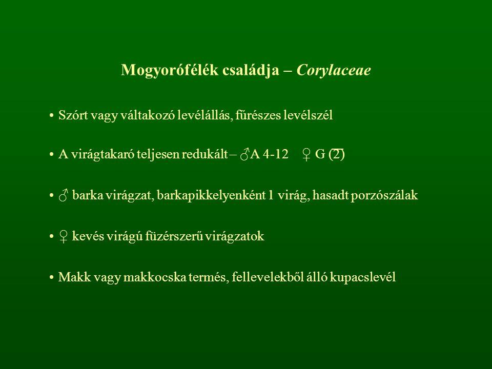 Mogyorófélék családja – Corylaceae Szórt vagy váltakozó levélállás, fűrészes levélszél A virágtakaró teljesen redukált – ♂A 4-12 ♀ G (2) ♂ barka virág