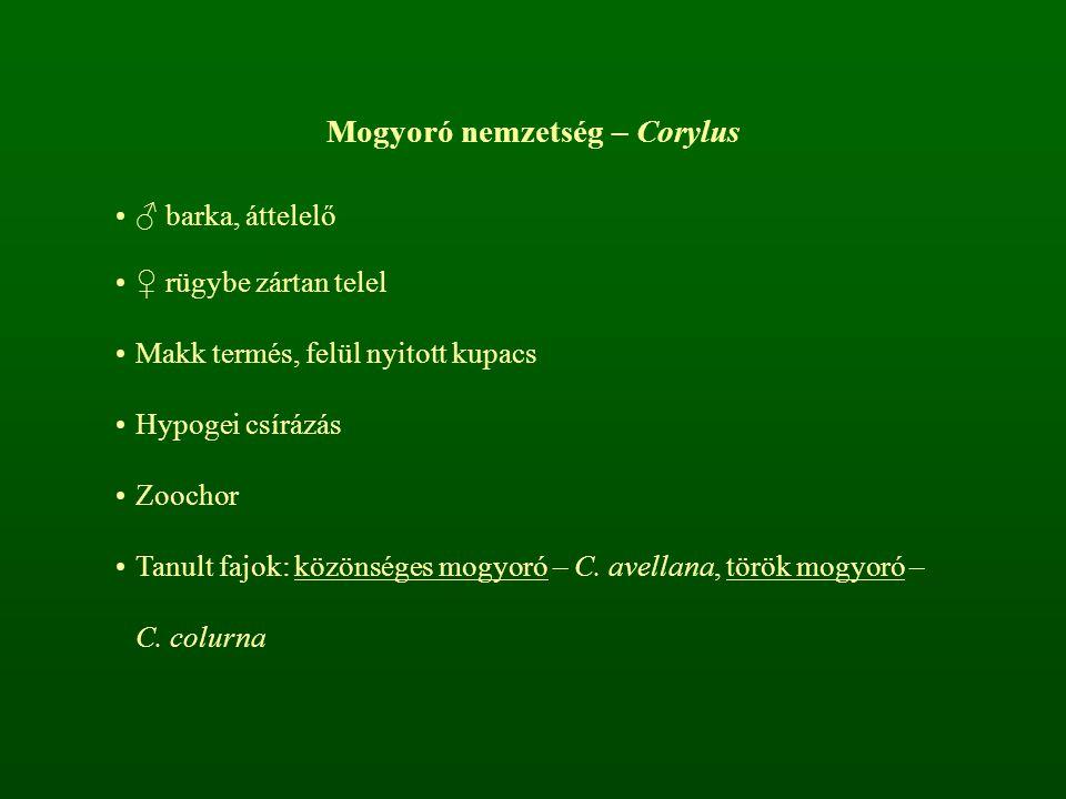 Mogyoró nemzetség – Corylus ♂ barka, áttelelő ♀ rügybe zártan telel Makk termés, felül nyitott kupacs Hypogei csírázás Zoochor Tanult fajok: közönsége