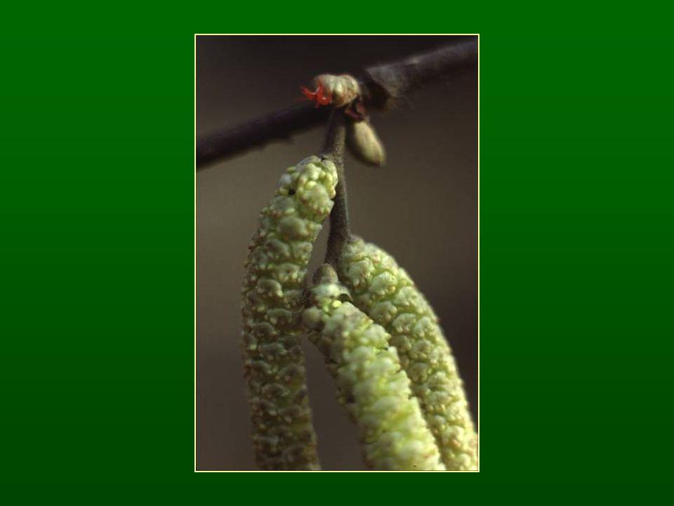 Gyertyán nemzetség – Carpinus Váltakozó levélállás Virágzatai tavasszal jelennek meg ♂ barka virágzat (hajtás közepén) ♀ füzér virágzat (hajtás végén) Makkocska termés, kupacslevél aljára ránőve Epigei csírázás Szélterjesztés Tanult fajok: közönséges gyertyán – C.