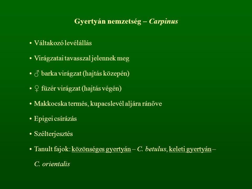 Gyertyán nemzetség – Carpinus Váltakozó levélállás Virágzatai tavasszal jelennek meg ♂ barka virágzat (hajtás közepén) ♀ füzér virágzat (hajtás végén)