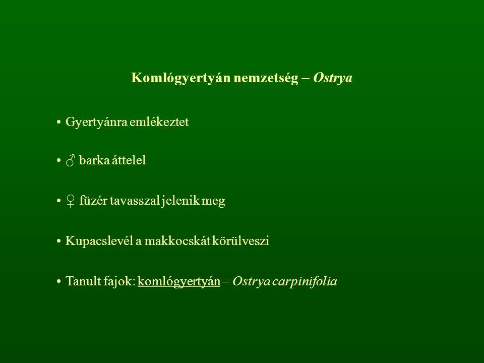 Komlógyertyán nemzetség – Ostrya Gyertyánra emlékeztet ♂ barka áttelel ♀ füzér tavasszal jelenik meg Kupacslevél a makkocskát körülveszi Tanult fajok: