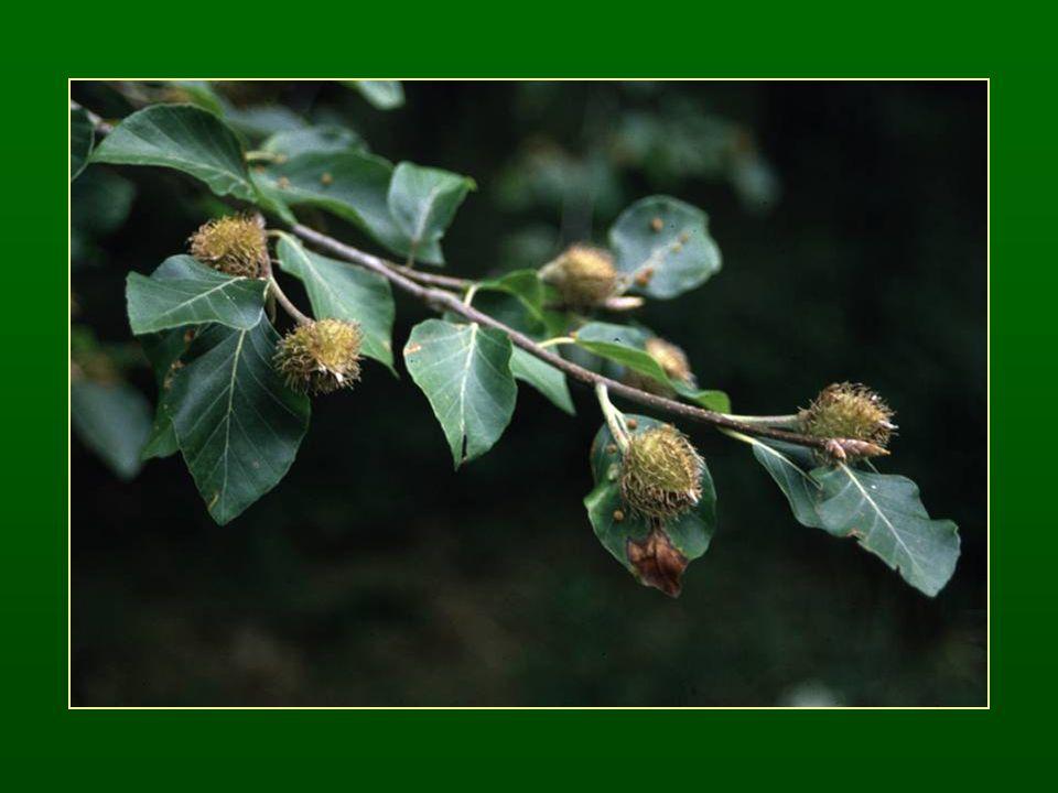 Gesztenye nemzetség – Castanea Szórt levélállás Fogazott szélű levelek Rovarbeporzók ♂ felálló, hosszú füzér ♀ háromvirágú dicházium, G (6) Kupacsonként 3 makk termés Hypogei csírázás Tanult faj: szelídgesztenye – C.