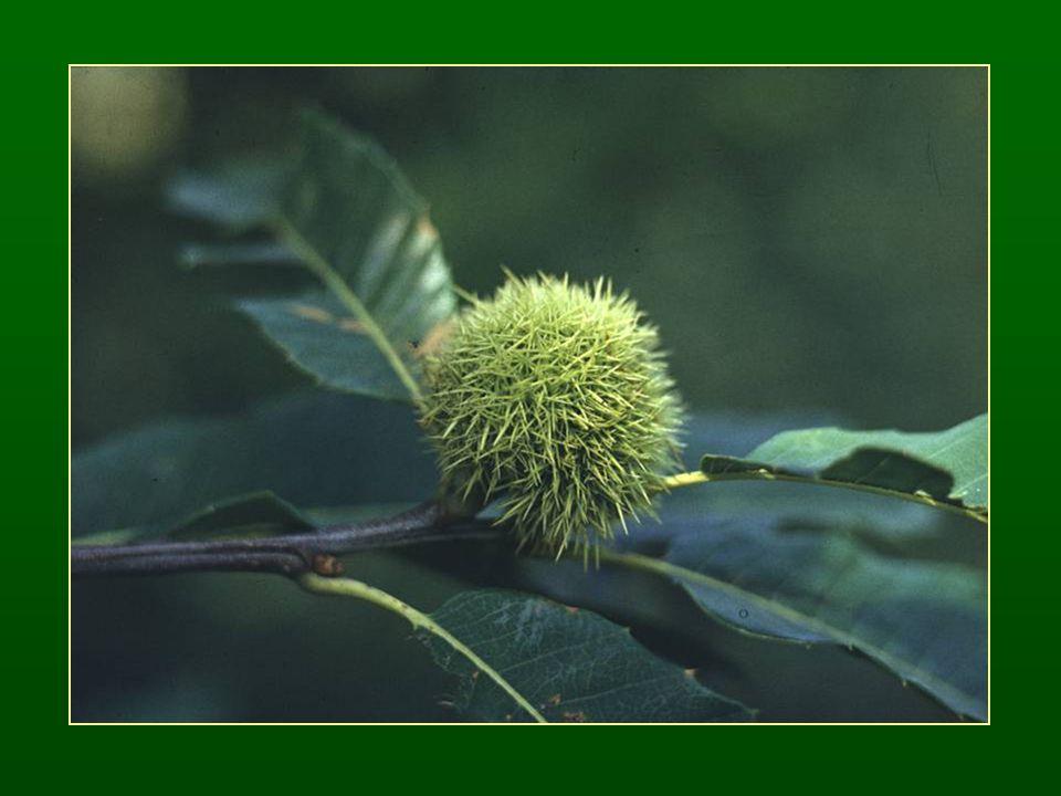 Tölgy nemzetség – Quercus Szórt levélállás Szélbeporzás ♂ barka virágzat, virágonként 6 tagú lepel, 6 porzó ♀ egyvirágú dicházium virágzatok füzér vagy csomó-szerű virágzatokba összetéve Nyitott kupacs, kupacsonként 1 makk Hypogei csírázás 450 faj Tanult fajok: kocsányos tölgy – Qu.