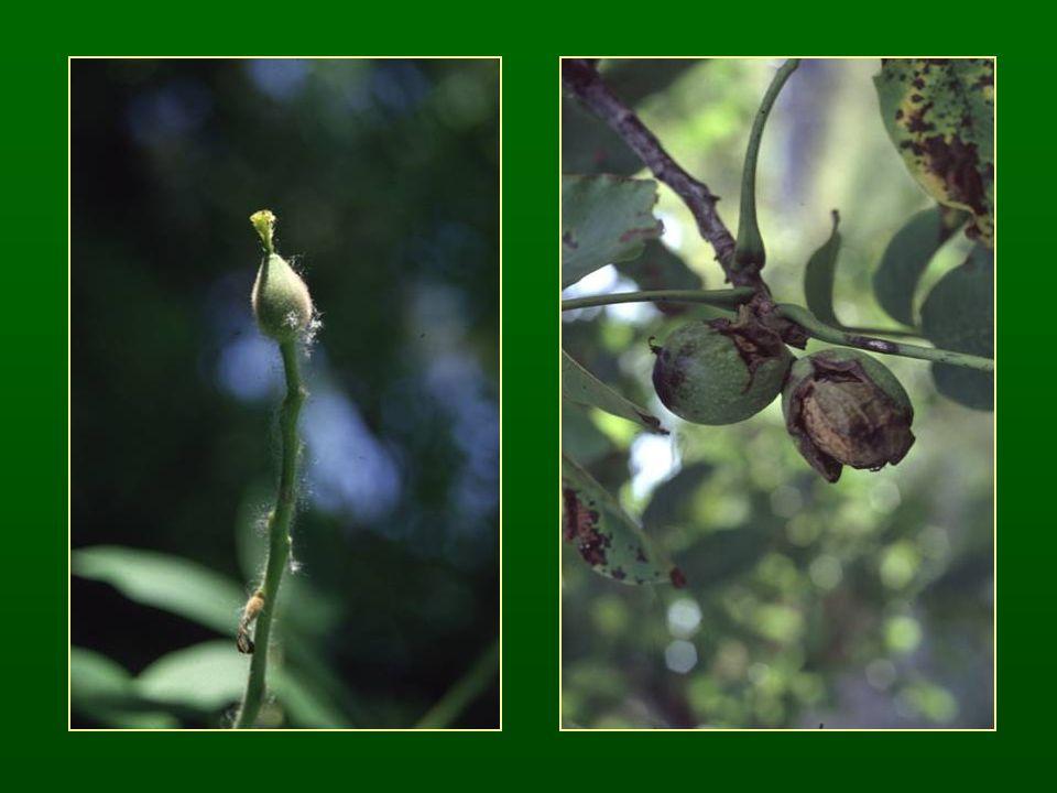 Dilleniaalkatúak alosztálya Dilleniidae Egyszerű levelek Ciklikus felépítésű virág Felső állású szinkarp termő Tamariskavirágúak rendje Tamaricales Füzéres virágzatok Kétivarú virágok