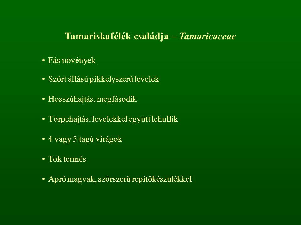 Tamariskafélék családja – Tamaricaceae Fás növények Szórt állású pikkelyszerű levelek Hosszúhajtás: megfásodik Törpehajtás: levelekkel együtt lehullik