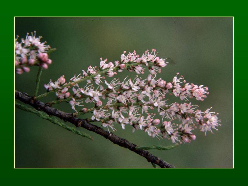 Fűzvirágúak rendje – Salicales Monotipikus rend (egy család) Fűzfafélék családja – Salicaceae Fás növények Szórt levélállás Kétlakiak Szélbeporzás, másodlagosan rovarbeporzás ♂ virágtakaró hiányzik, barka vagy füzér virágzat ♀ G (2), tok termés, füzér Rengeteg magkezdemény és mag Endospermium hiányzik, gyors epigei csírázású pionír növények Gyakori hibridizáció