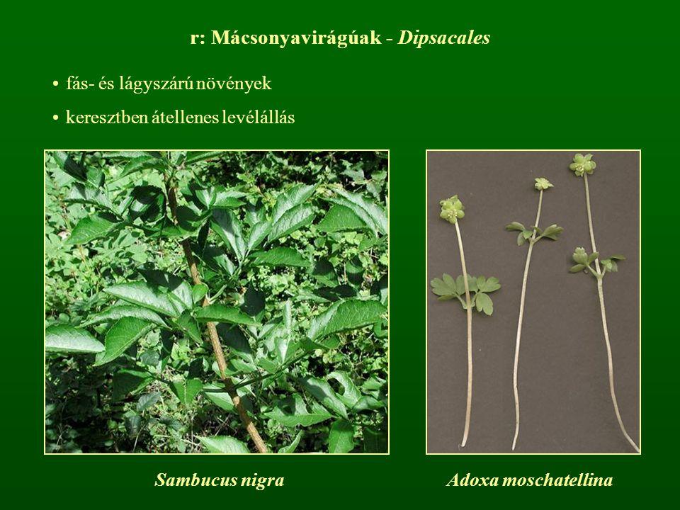 r: Mácsonyavirágúak - Dipsacales fás- és lágyszárú növények keresztben átellenes levélállás Sambucus nigraAdoxa moschatellina
