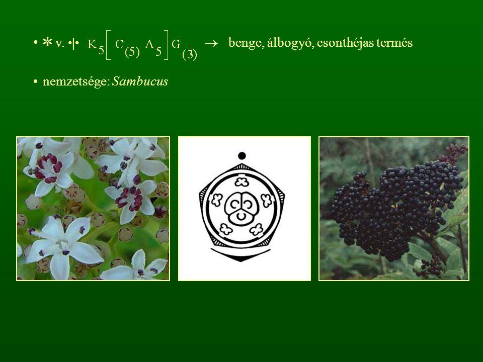 ✼ v. |  benge, álbogyó, csonthéjas termés nemzetsége: Sambucus