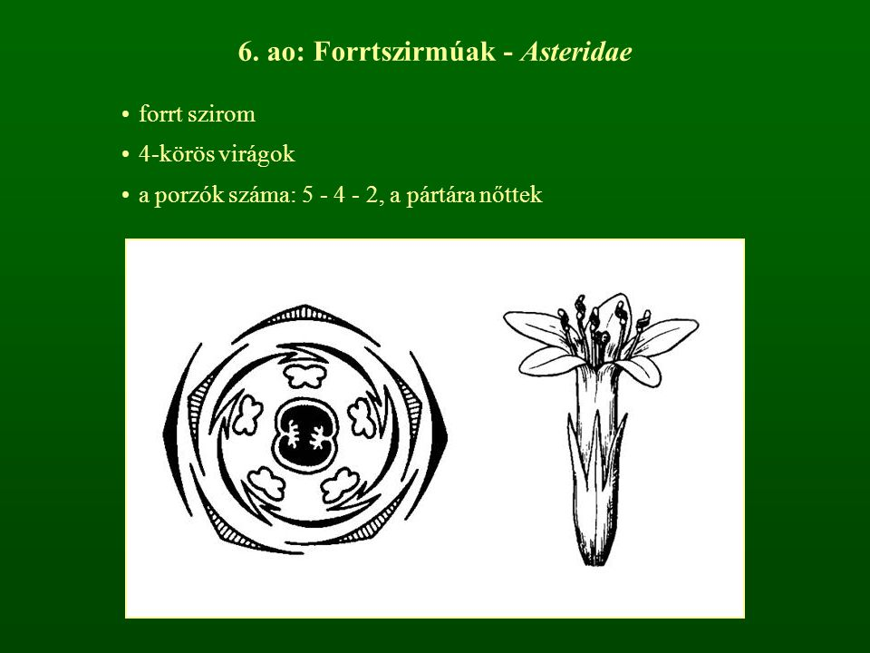 6. ao: Forrtszirmúak - Asteridae forrt szirom 4-körös virágok a porzók száma: 5 - 4 - 2, a pártára nőttek