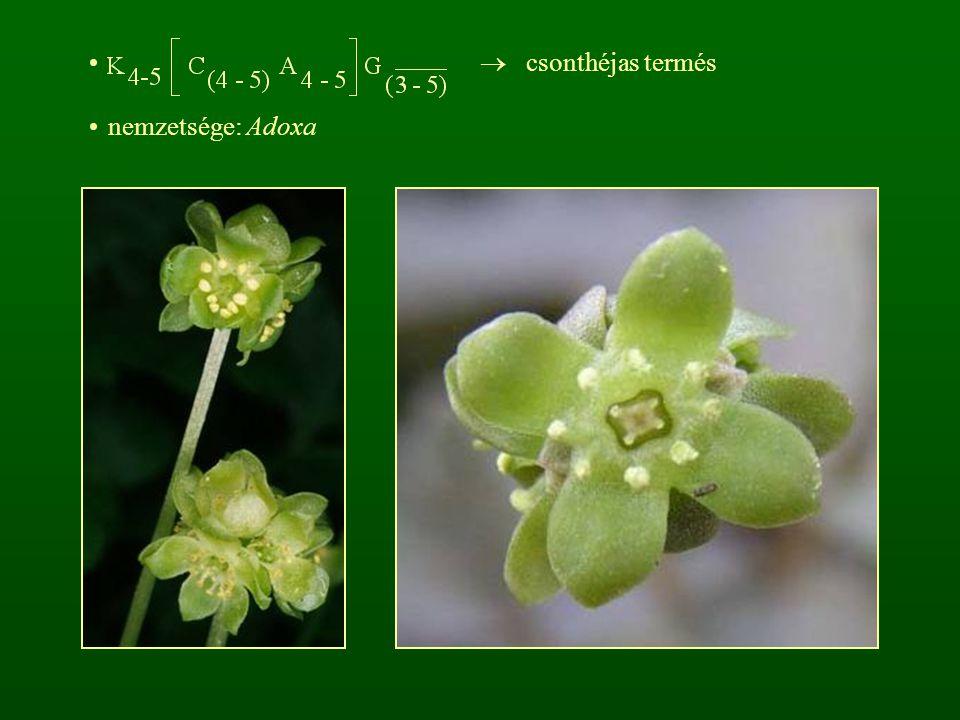  csonthéjas termés nemzetsége: Adoxa