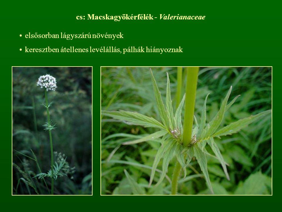 cs: Macskagyökérfélék - Valerianaceae elsősorban lágyszárú növények keresztben átellenes levélállás, pálhák hiányoznak